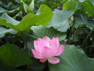 090719三溪園のハス.jpg
