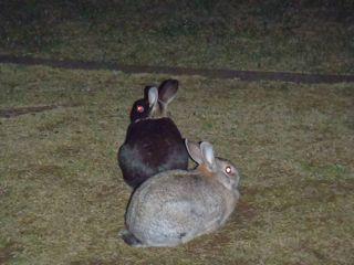 100407公園に出没するウサギ.jpg